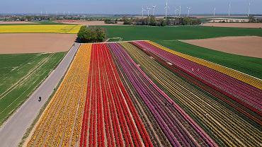 15.04.2020, pola tulipanów w Grevenbroich w Niemczech.