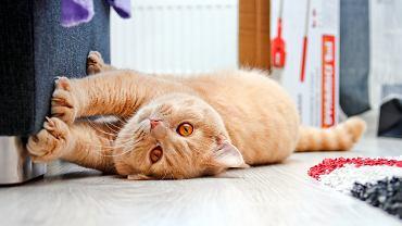 A twój kot której łapki używa częściej?