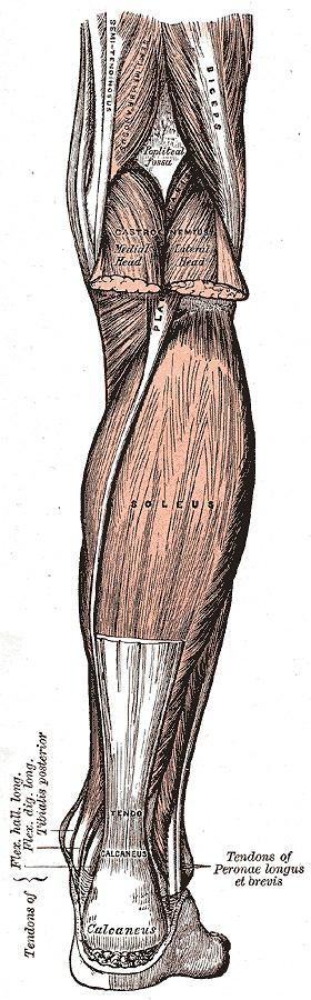 Tył nogi z mięśniami łydki i ścięgnem Achillesa