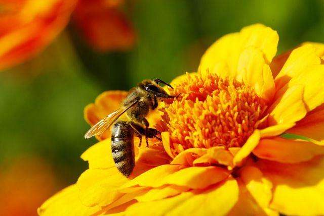 Pyłek kwiatowy odpowiednio przetworzony przez pszczołę to cenny dodatek do produktów spożywczych i leczniczych