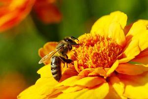 Pierzga pszczela: właściwości odżywcze