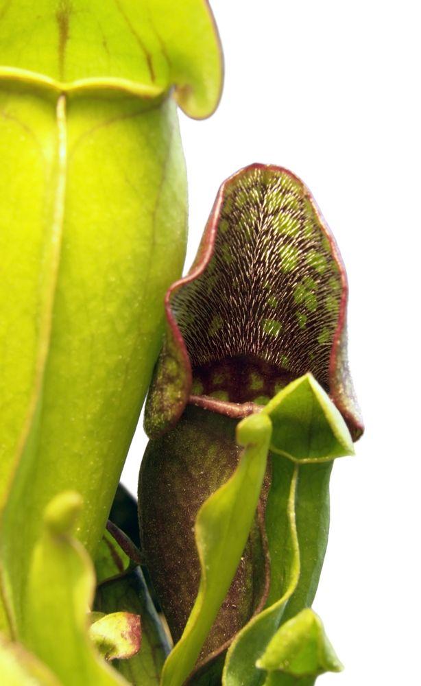 Nepenthes campanulata - dzbanecznik - Borneo