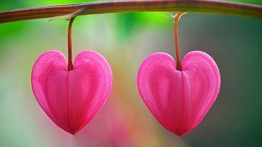serce, walentynki