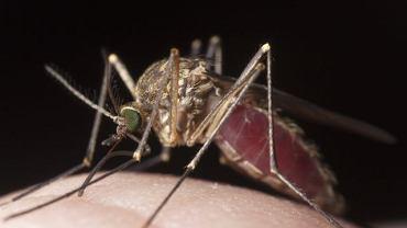 Malarią można się zarazić poprzez ukąszenie samicy komara, zainfekowaną igłę lub przez transfuzję zarażonej krwi