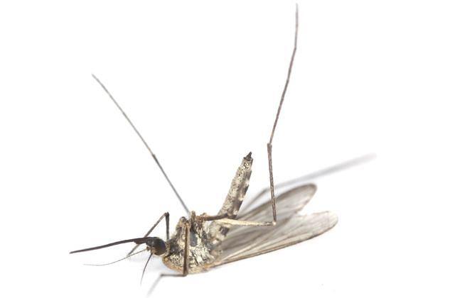 Komarzyce wprowadzają do organizmu ukąszonego substancję uczulającą