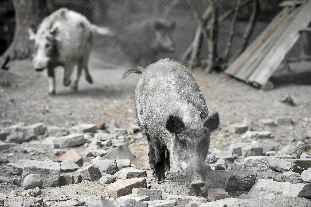 Dziki w lecznicy dla dzikich zwierząt w Złotówku
