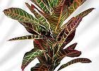 Kroton, gwiazda betlejemska - rośliny trujące