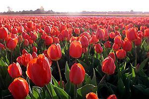 Wiosenna Holandia cała w tulipanach