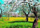 Jabłoń - miłość