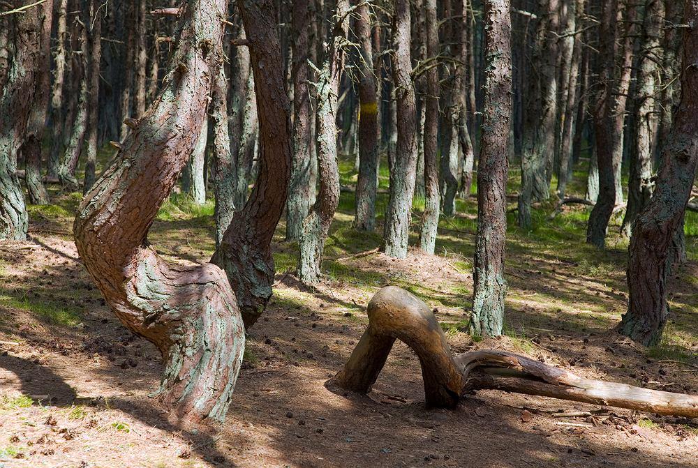 Tańczące drzewa na Mierzei Kurońskiej