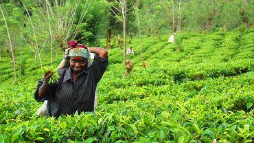 sri lanka, herbata, plantacja
