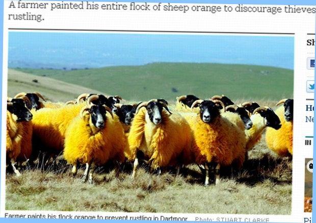 Tak wyglądają owce w kolorze pomarańczy.