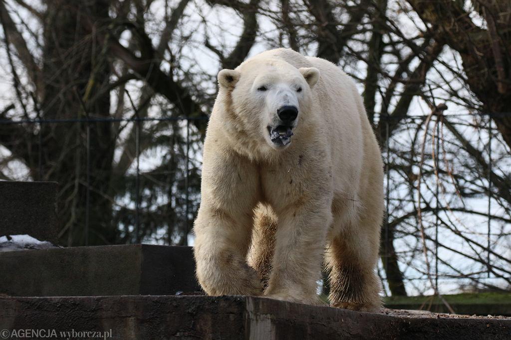 Niedźwiedź polarny (zdjęcie ilustracyjne)