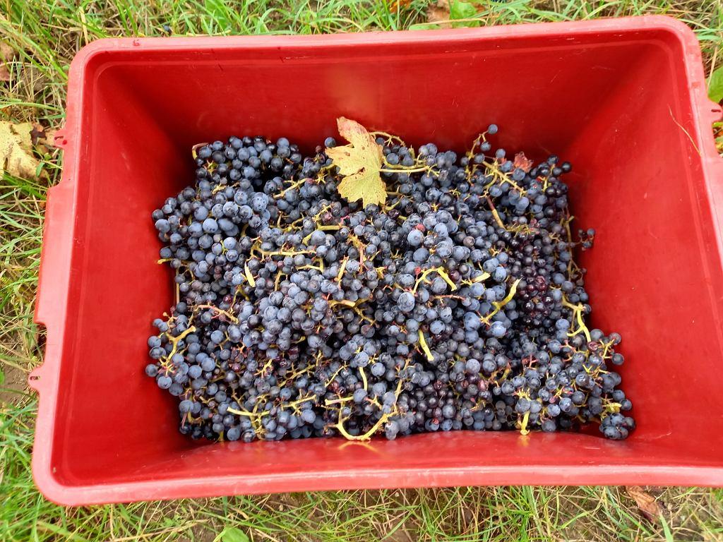 Winogrona z winnicy Miłosz w Łazie