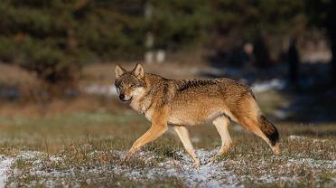 Wilk w Białowieży