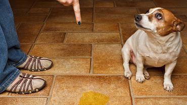 'Smutna' psia mina wcale nie oznacza poczucia winy.