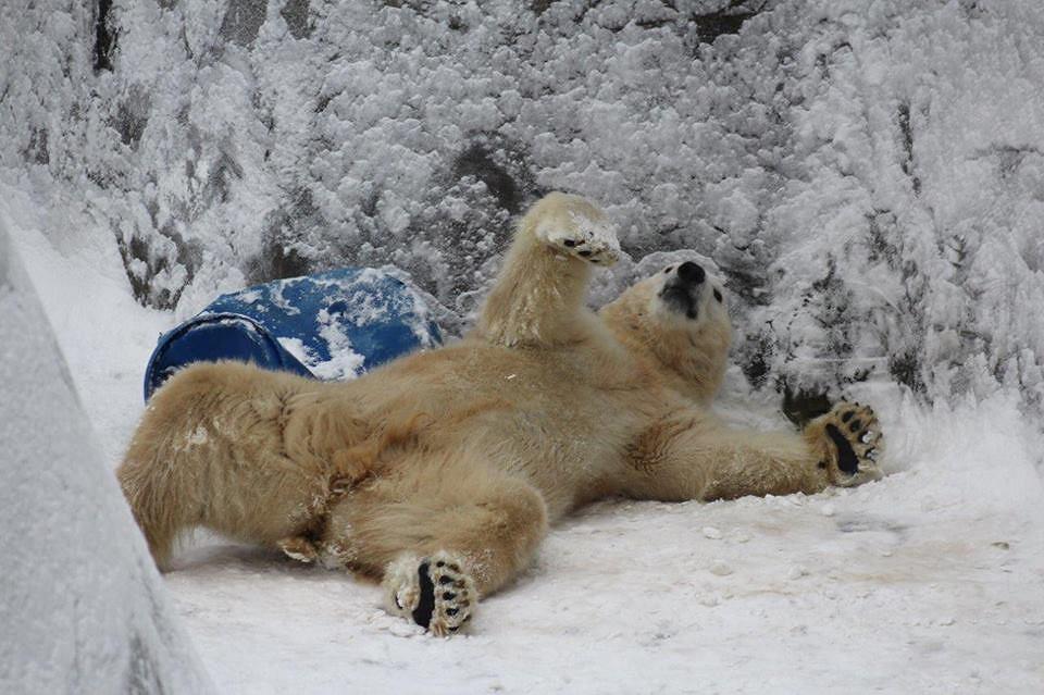 Niedźwiadki z warszawskiego ogrodu zoologicznego.