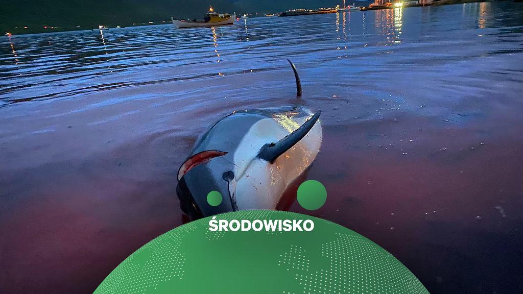 Rzeź delfinów na Wyspach Owczych