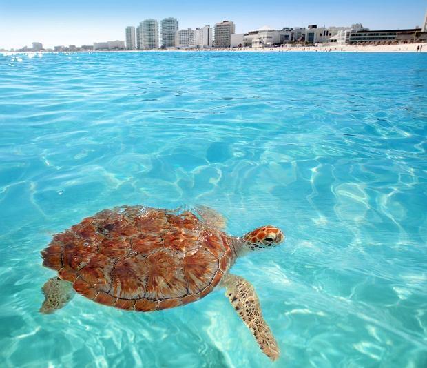 Żółw w Cancun
