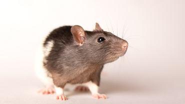 Koronawirus - badania z udziałem zwierząt