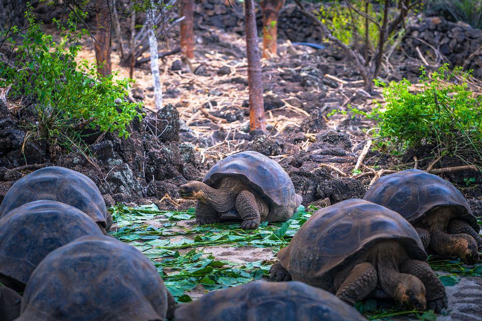 Gigantyczne żółwie na Galapagos