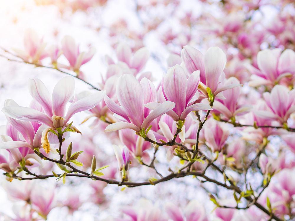 Drzewko ozdobne do ogrodu - magnolia. Zdjęcie ilustracyjne