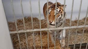 Tygrysy z białoruskiej granicy