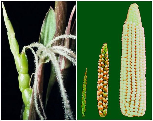 Kukurydza i teosinte