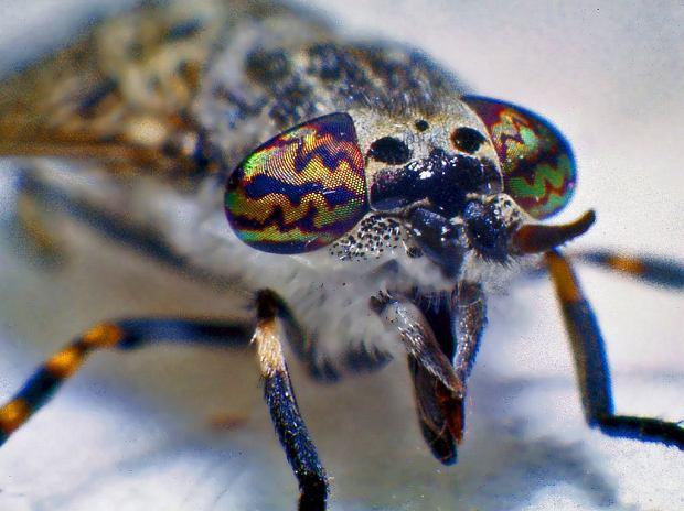 Samice muchy końskiej mają wyjątkowe, kolorowe oczy, dzięki którym można je odróżnić od samców