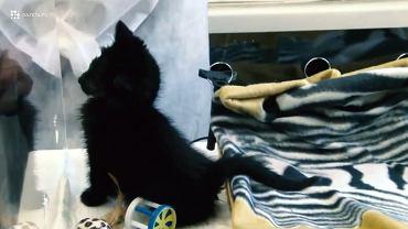 Mały kot w kocim szpitalu na Paluchu. Dzięki inkubatorom podarowanym przez praski szpital, chorym zwierzętom ratuje się nie tylko zdrowie. Ale i życie