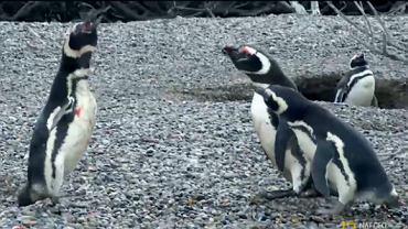 """Pingwin po powrocie do domu zastał """"żonę"""" z """"kochankiem"""""""