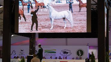 Klacz Perfinka wylicytowana za rekordową sumę 1,25 mln euro