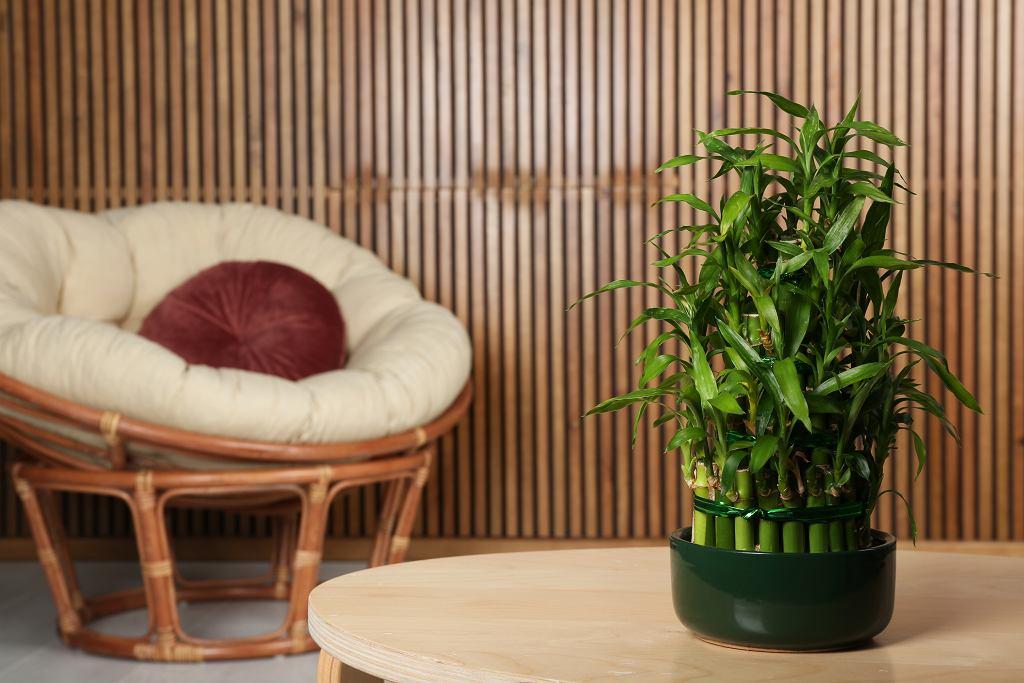 Lucky Bamboo prezentuje się świetnie i nie jest wymagający