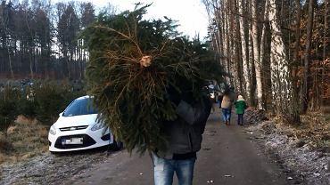 W tym roku, podobnie jak w ubiegłym, można samemu wybrać i wyciąć świąteczne drzewko