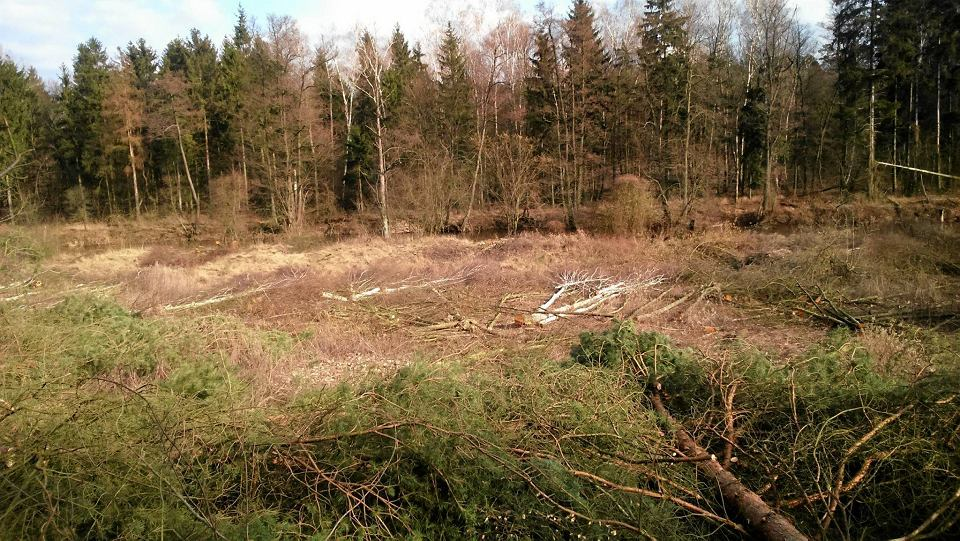 Wycięte drzewa w Brudzeńskim Parku Krajobrazowym