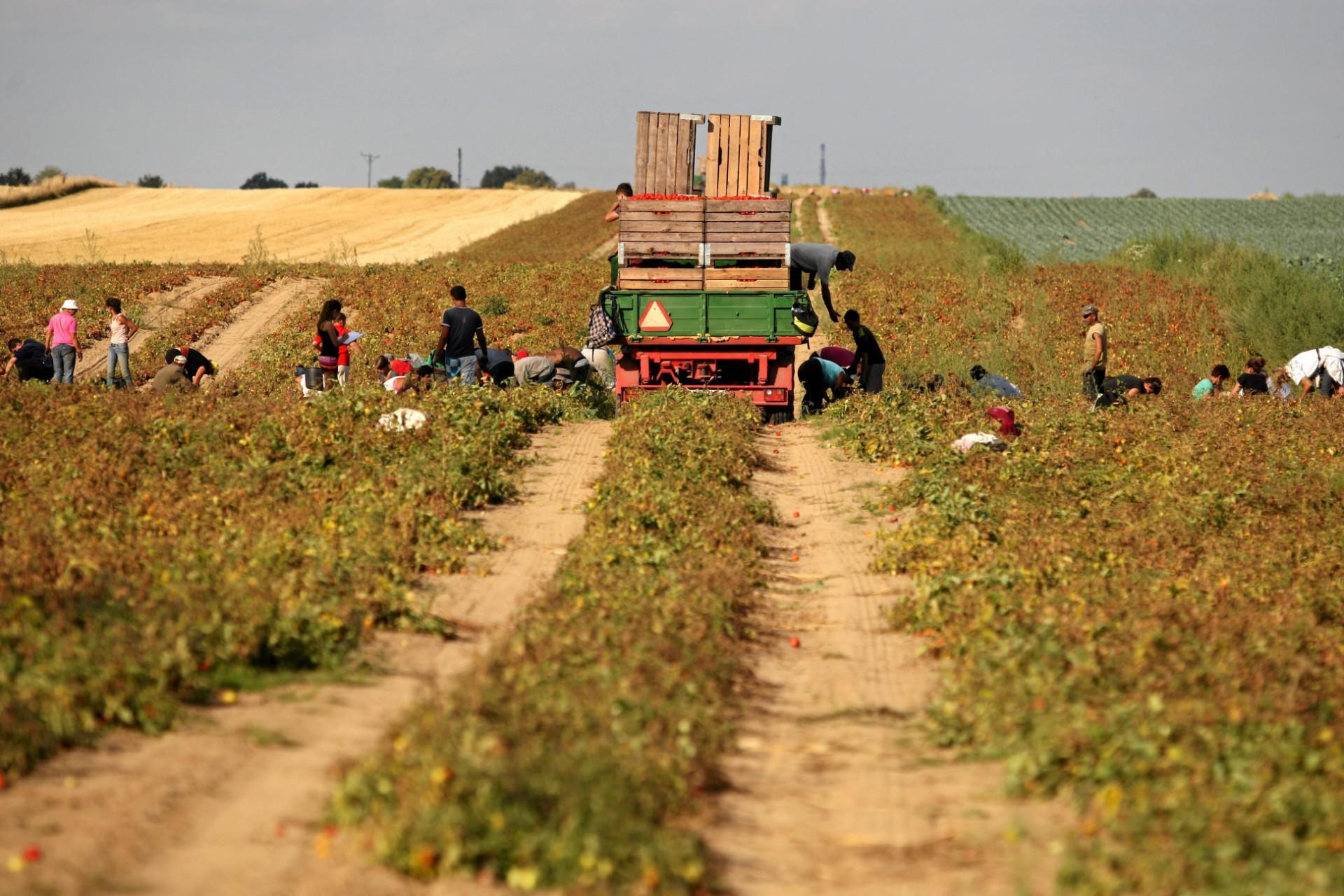 Na suszę wrażliwe są wszystkie uprawy. Jeśli plony będą małe, wzrosną ceny (fot: Jakub Orzechowski/ Agencja Gazeta)