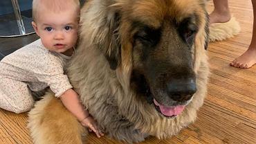 Ogromny pies ma niezwykłą relację z dzieckiem