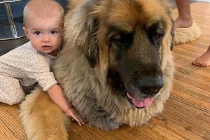 """Ogromny pies ma wyjątkową relację z niemowlęciem. """"Lamont kocha dziecko, dziecko kocha Lamonta"""""""