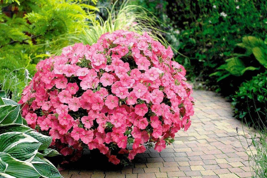 <B>KOLOROWE KWIATY.</B> każdej przestrzeni dodają uroku. Nie może ich także zabraknąć na tarasie. Szczególnie polecamy kwiaty pachnące, jak widoczna na zdjęciu petunia. Nie tylko od maja aż do przymrozków cieszy oczy burzą kwiatów, ale też pięknie pachnie wieczorami.