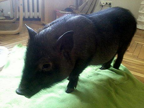 Świnka wietnamska znaleziona na Żoliborzu