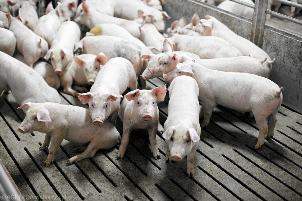 Problem afrykańskiego pomoru świń
