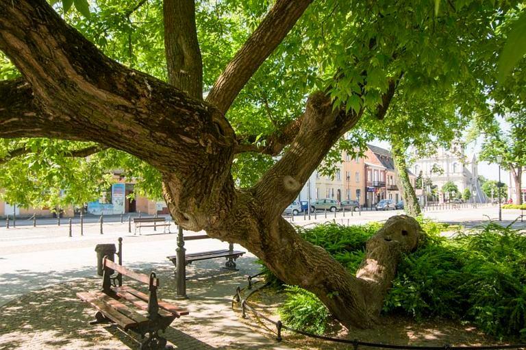 Trwa konkurs Drzewo Roku