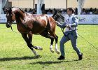 NIK: niegospodarność w spółkach hodowli koni. Bez wprowadzenia zmian niektórym grozi upadłość