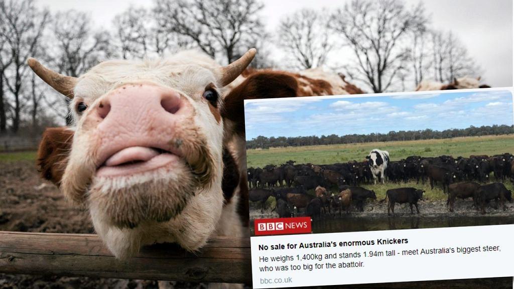W Australii mieszka byk mierzący blisko dwa metry