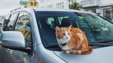 Częstym tematem pojawiającym się w islandzkich mediach są koty