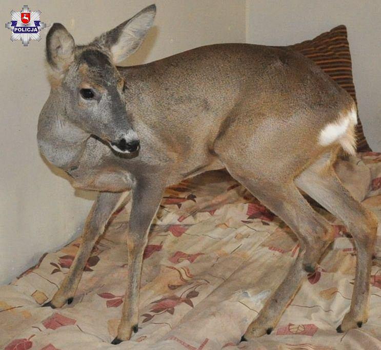 Sarna w mieszkaniu - 62-latek tłumaczył, że otrzymał zwierzę od kolegi