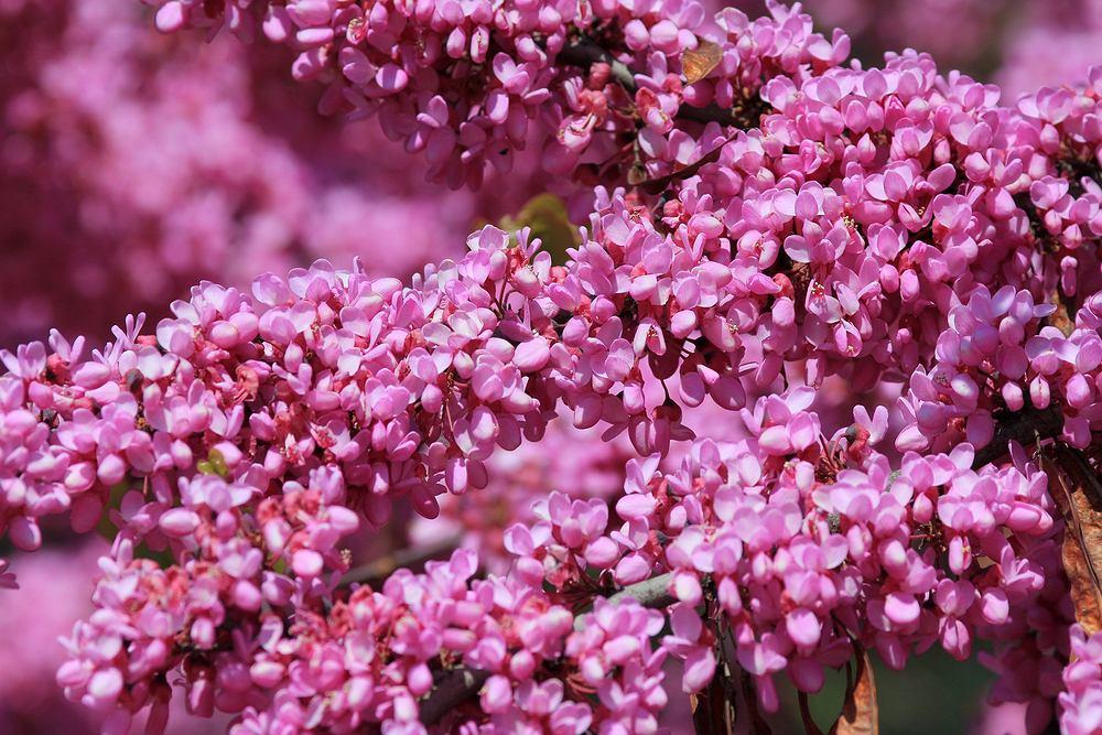 Drzewka ozdobne do ogrodu - judaszowiec. Zdjęcie ilustracyjne