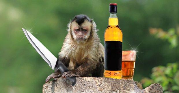 Małpka upiła się w barze rumem i   z nożem goniła mężczyznę