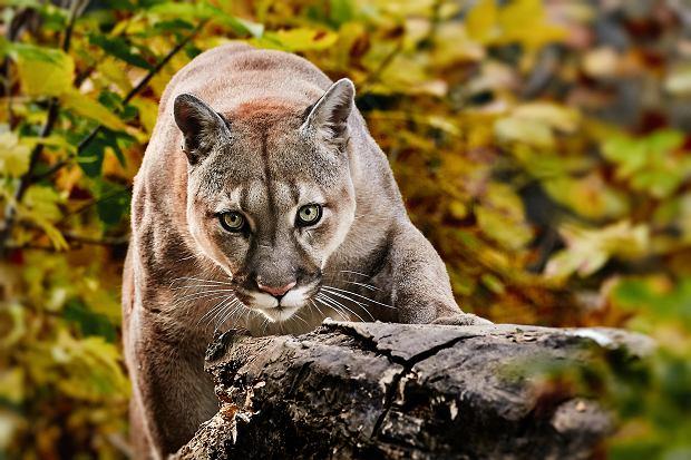 Puma z nielegalnej hodowli grasuje w czeskich lasach. Policja wydała ostrzeżenie