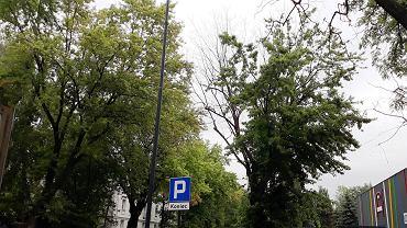 Drzewo na ul. Wigury przeznaczone do wycinki, o które walczą łodzianie